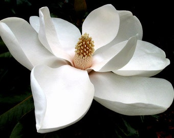 An Open Magnolia Blossom, Various Sizes, Includes Shipping to U.S. & Canada