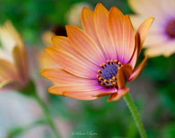 Yellow African Daisy: A Celebration Of Spring
