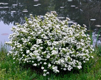 "Viburnum ""Mrs. Schillers Delight"" obovatum, Low maintenance, Great Hedge, Green, Flowers Size:1 gallon"
