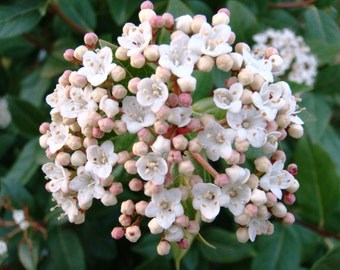 VIBURNUM SPRING BOUQUET, great hedge plant, blooming shrub, low maintenance - ( 1 gallon )