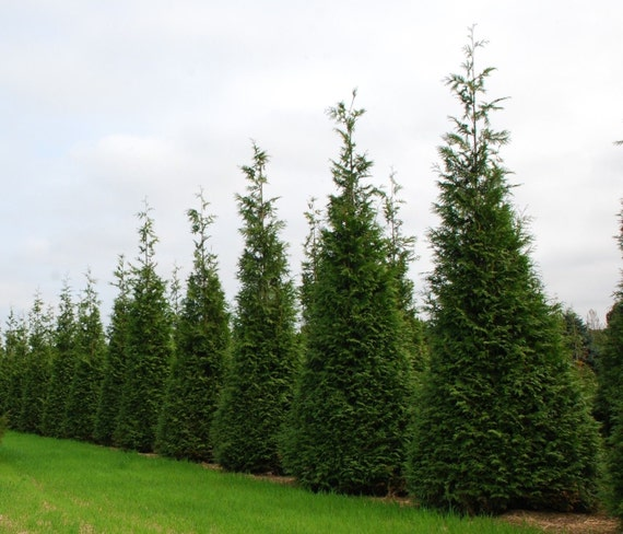 thuja green giant evergreen tree privacy screen low maintenance fast growing tree live trees. Black Bedroom Furniture Sets. Home Design Ideas