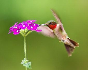 Ruby Throated Hummingbird Photograph, Fine Art Print, Bird Photography, Nature, Bird Art, Flower Photography, Maneuvering Magic
