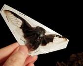 OVERSTOCK: spread Cryptotympana aquila black & white real Cicadas