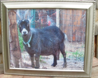 Zadia my pygmy mama goat