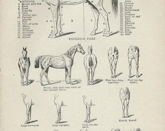 1917 Vintage Book Plate - Horse / Vintage Illustration  / The Horse / Parts Of A Horse