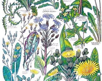 1965 Botanical Print - Dandelion, Rough Hawkbit, Alpine Lettuce, Blue Snowthistle - British Flowers Vintage Book Plate P21