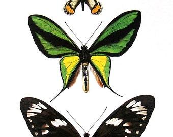 Butterflies - Order Lepidoptera -  1985 Butterfly Book Page - World Butterflies Book - 12 x 8
