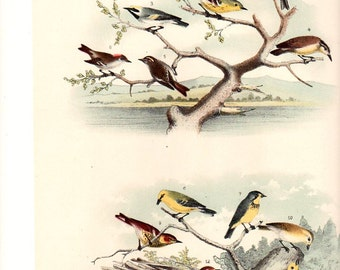 WARBLER Bird 19th Century Litho  Crayonne Lithograph Birds ~~ 1800s Old Color Antique Art Print Jacob Studer [Inv#47