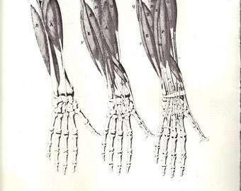 Human Anatomy Muscles of the Forearm Front & Back by Giuseppe del Medico to Frame or for Paper Arts PSS 2155