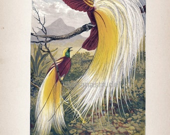 1880s Antique English Chromolithograph of the Bird of Paradise
