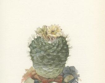 Top Cactus, Vintage Cactus Print, 8 x 10, Strombocactus Cacti Plant (85) Natural History, Art, 1971, Kaplicka