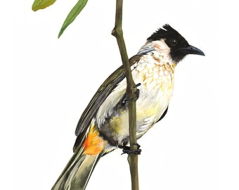 Limited Edition GICLEE PRINT / Watercolor Painting of a Sooty-headed Bulbul