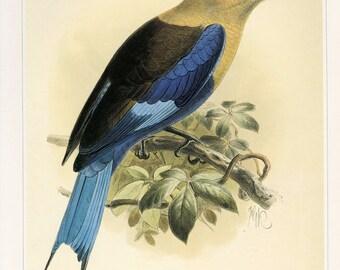 Bird Art Print Bluebellied Roller Book Plate SALE Buy 3, get 1 FREE