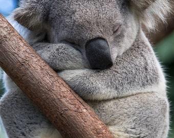 SLEEPY KOALA Photo, Koala Bear, Baby Nursery Print,  Animal Photography, Nursery Decor, Kids Room, Safari Baby Nursery Decor, Cute, WIldlife