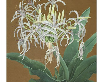 Spider Lily, Large Giclee Print