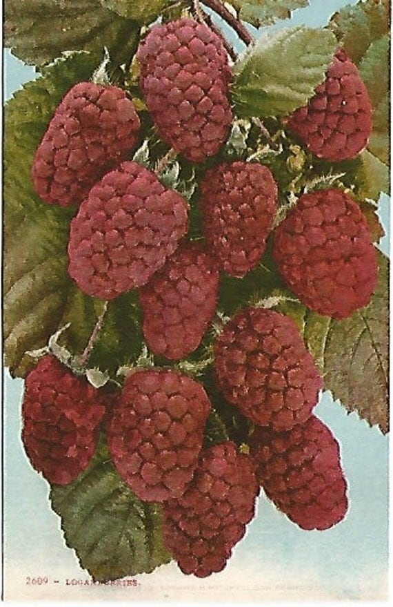 Antique 1910 Postcard Logan Berries Edward H Mitchell San Francisco California Fruit Art