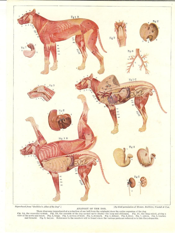 Dog paw anatomy - Animal Kid