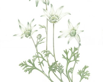 A4 Print Flannel Flower