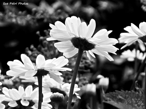 Romantic Bedroom Art - Black and White Photography - Monochrome - Nature Photography - Daisy Photos - Flower Photography