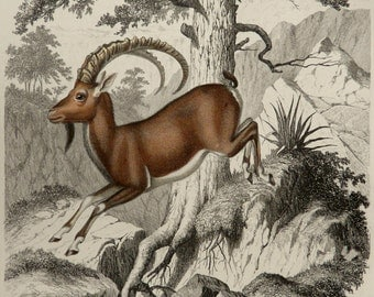 1855 Antique print of an ALPINE IBEX. STEINBOCK. Alpine fauna. Gervais Zoology. Natural History. 162 years old gorgeous engraving