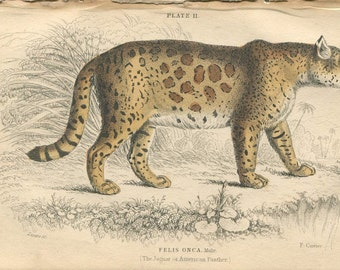Antique Hand Colored Steel Engraved 1800's Book Plate Print Jardine Natural History Library Vol XVI Mammalia Lions Tigers #11 Jaguar