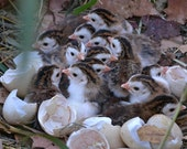 Photo of Baby Guinea Keets, Nature Photography, Animal Photography, Baby Animals