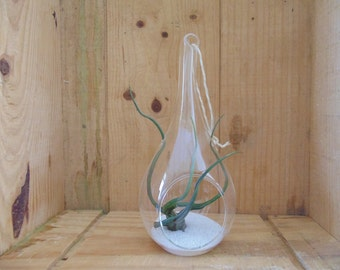 Hanging Air Plant - Tillandsia -  Hanging Tear Drop  Terrarium Hand Blown Glass approx 8""