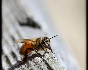 Honeybee Photo, PRINT - Nature Photography, Honeybee, Bee Photo, Fine Art Photography, sacred bee, Honeybee print, beekeeper, bee