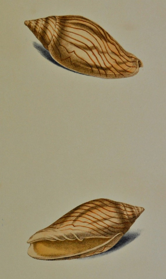 Exotic conchology print. Voluta undulata. 1968. Vintage book plate. Shell print. 11'3 x 9'2 inches.