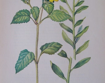 Chrysogonum, Chrysogonum virginianum and Baker's Golden Aster, Chrysopis bakeri, Vintage illustration flower print
