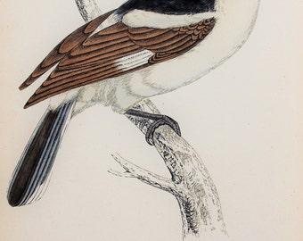 Woodchat Shrike. Original 1800s Antique Bird Print by Reverend F. O. Morris