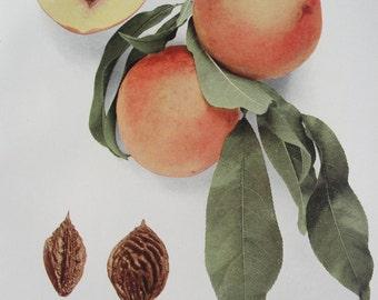 Botanical - 1917 Peach Lithograph - original