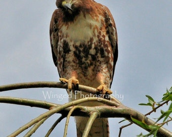 Red-tailed Hawk in tree Bird Photography Print 8x10 Hawk Photo home decor