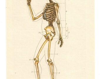 skull skeleton illustrations 2 Vintage Anatomical Prints Medical Diagrams Anatomy Print Paper Ephemera Old upcycled recycled repurposed