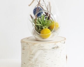 Billy Button Terrarium + Air Plant Kit