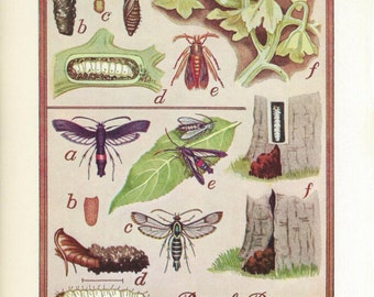 Vintage Book Plate - Iris Borer / Peach Borer / double sided / Insects / Garden Pests