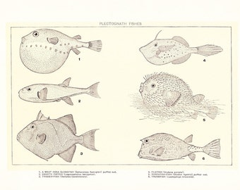 1903 Fish Print - Plectognath - Vintage Antique Home Decor Book Plate Art Illustration for Framing 100 Years Old