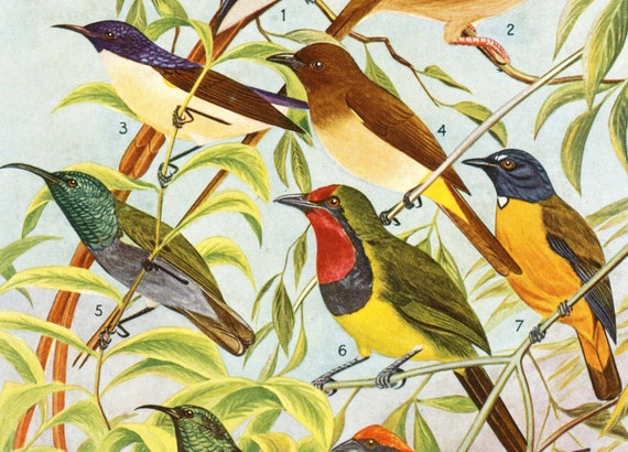 1952 Vintage Print of Birds of the Belgian Congo. No. 2