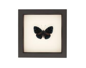 Bug Under Glass Starry Night Butterfly Display Hamadryas Laodamia