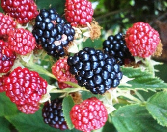 3 Unrooted Cuttings - Live WILD BLACKBERRY PLANTS - Unrooted Cuttings 8-12 inches tall, Hardy Perennial Fruit Bearing Shrub