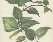 Vintage Botanical Print, Kangaroo Ivy, Vine, Cissus, Indoor Plant (45) Flower Art, 1968, Kaplicka