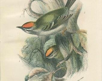 Gold Crest Fire Crest, Antique Bird Print, Richard Lydekker, Ornithology, Vintage 1896, Chromolithograph Plate 17