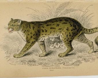 1840 SUMATRAN CAT original antique wild cat safari animal print