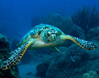 Sea Turtle Art Underwater Photography print of Sea Turtle with flippers extended Great for Bathroom Decor or Beach House Decor