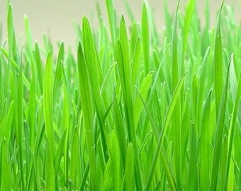 Wheatgrass, Organic Wheatgrass Seeds | Highly Nutritious Greens
