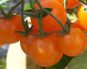 Tomato, Sun Gold Cherry Tomato Seeds | Rich Flavor Adorable Fruit Awesome Tasting