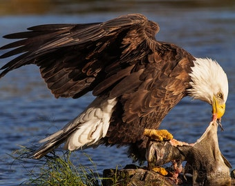 Adult Bald Eagle with a large salmon