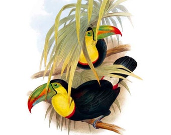 Toucans by Gould Print SALE Buy 3, get 1 Free