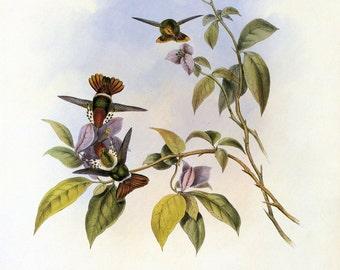 Vintage Print of Hummingbirds, by John Gould SALE~~ Buy 3, get 1 Free