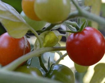 Organic Sweetie Tomato Seeds